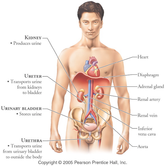Urinary System Anatomy Physiology The Wonders Of The Human Body