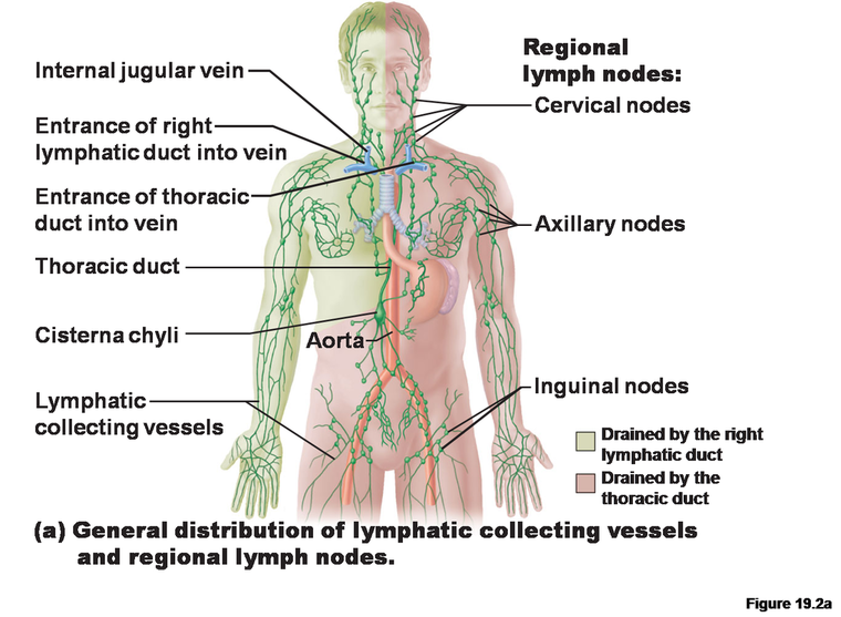 Immune/Lymphatic Systems - Anatomy & Physiology: The wonders of the ...